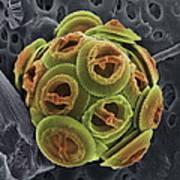 Calcareous Phytoplankton, Sem Print by Steve Gschmeissner