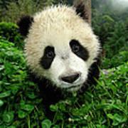Giant Panda Ailuropoda Melanoleuca Print by Katherine Feng