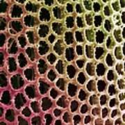 Diatom Alga, Sem Print by Steve Gschmeissner