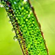 Dewdrops On Lemongrass Print by Thomas R Fletcher