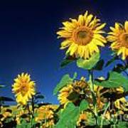 Sunflowers  Print by Bernard Jaubert