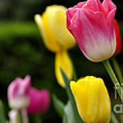 Tulip Garden University Of Pittsburgh  Print by Thomas R Fletcher