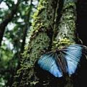 A Blue Morpho Butterfly Print by Joel Sartore