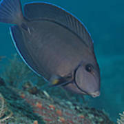 A Blue Tang Surgeonfish, Key Largo Print by Terry Moore