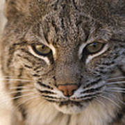 A Bobcat At The Rolling Hills Zoo Print by Joel Sartore