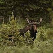 A Bull Moose Stops For A Photograph Print by Raymond Gehman