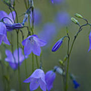 A Close Up Of Mountain Hairbells Dietes Print by Ralph Lee Hopkins