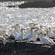 A Flock Of Gannets Standing On A Rock Print by John Short