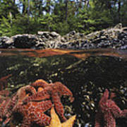 A Group Of Ochre Sea Stars Clustered Print by Bill Curtsinger