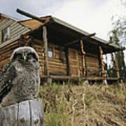 A Hawk Owl Sits On A Stump Near A Log Print by Michael S. Quinton