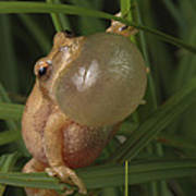 A Spring Peeper Faces The Camera Print by George Grall
