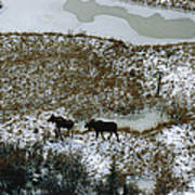 Aerial Of A Male And Female Moose Print by Norbert Rosing