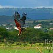 African Fish Eagle Flying Print by Anna Omelchenko