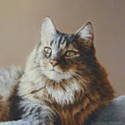 Alexi Maine Coon Print by Barbara Groff