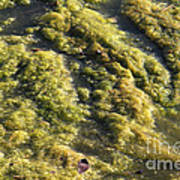 Algae Bloom In A Pond Print by Photo Researchers, Inc.