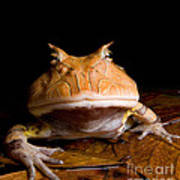 Amazonian Horned Frog Print by Dant� Fenolio