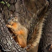 Apache Fox Squirrel Print by David Salter