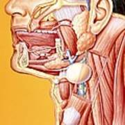 Artwork Of Mouth/neck: Tumour, Cyst, Duct Calculus Print by John Bavosi