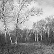 Autumn Birches Print by Anna Villarreal Garbis