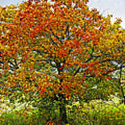Autumn Maple Tree Print by Elena Elisseeva