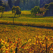 Autumn Vineyards Print by Garry Gay
