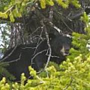 Bear In A Tree Print by Charles Warren