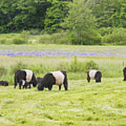 Belted Galloway Cows Pasture Rockport Maine Photograph Print by Keith Webber Jr