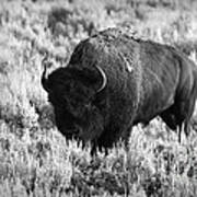 Bison In Black And White Print by Sebastian Musial