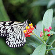 Black And White Butterfly  Print by Abiy Azene
