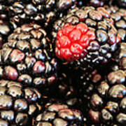 Blackberries  Print by JC Findley