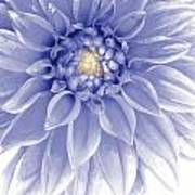 Blue Dahlia Print by Al Hurley
