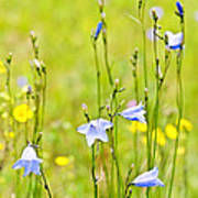 Blue Harebells Wildflowers Print by Elena Elisseeva