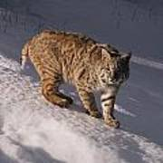 Bobcat Felis Rufus Prowls Over The Snow Print by Dr. Maurice G. Hornocker