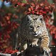 Bobcat Felis Rufus Walks Along Branch Print by David Ponton