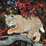 Bobcat Walks On Branch Through Hawthorn Print by David Ponton