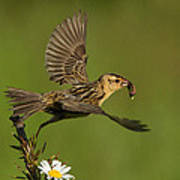 Bobolink Print by Mircea Costina Photography