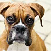 Boxer Puppy Print by Jody Trappe Photography