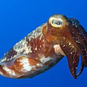 Broadclub Cuttlefish, Papua New Guinea Print by Steve Jones