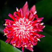 Bromeliad Bloom Print by Rich Franco