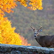 Buck In The Fall 08 Print by Metro DC Photography