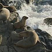 California Sea Lions Bask On San Miguel Print by James A. Sugar