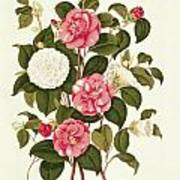 Camellia Print by English School