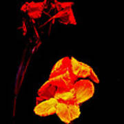 Canna Lilies On Black Print by Mother Nature