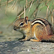 Chipmunk On A Warm Summer Evening Print by Inspired Nature Photography Fine Art Photography