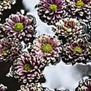 Chrysanthemum 3 Print by Skip Nall