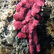Close-up Of Live Sponge Print by Ted Kinsman