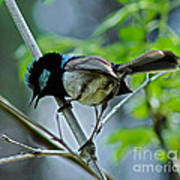close up of Superb Fairy-wren Print by Joanne Kocwin