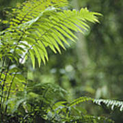 Close View Of Ferns In A Papua New Print by Klaus Nigge