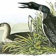 Common Loon Print by John James Audubon