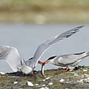 Common Terns Print by Duncan Shaw